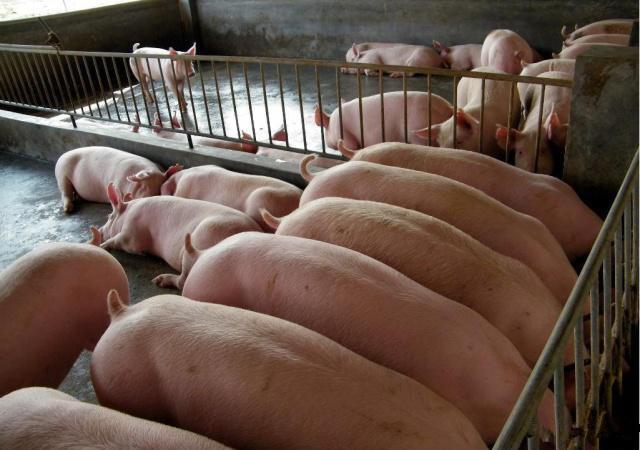 猪价小幅调整,全国生猪价格快速上涨之后收窄,后期猪价偏稳
