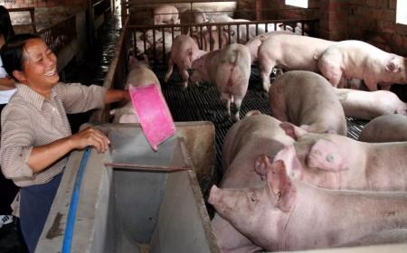 改善饲喂、用药、防疫、管理 母猪一年多带一窝猪!