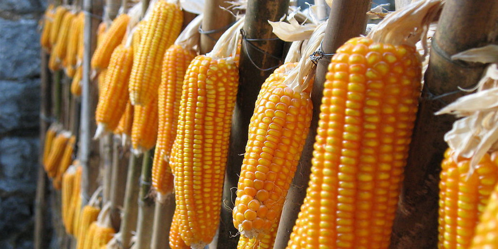 玉米现货市场走强期价冲高回落