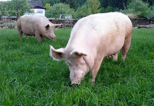 中兽医辩证论治,针对性解决母猪围产期三大难题