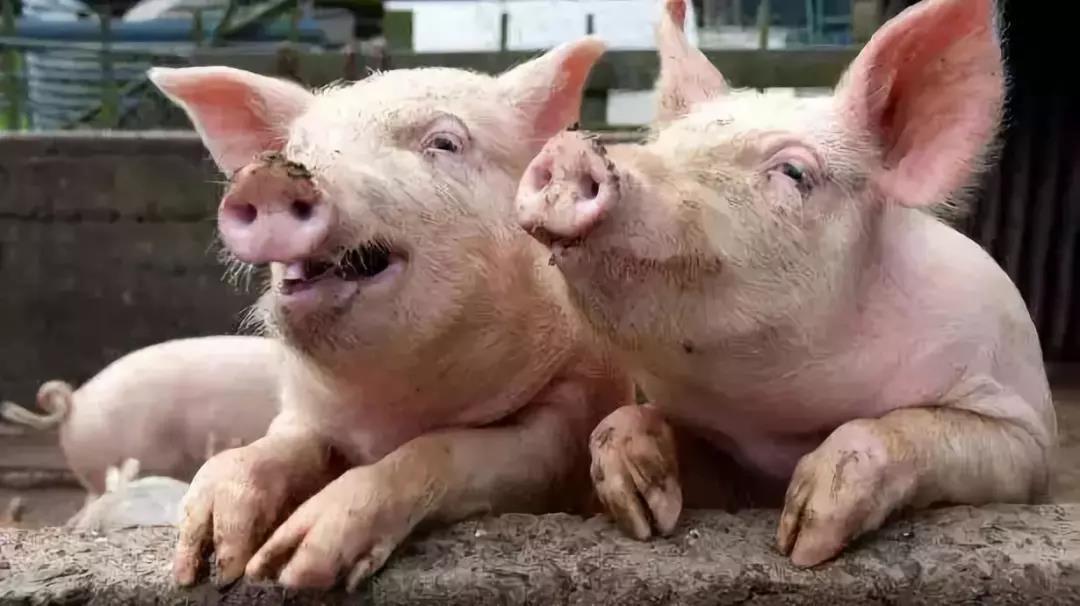 如果中国猪业被非洲猪瘟腰斩只剩4亿头,会发生什么?