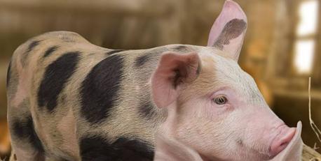 2019年4月29日仔猪价格:15公斤仔猪价格行情走势