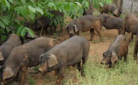 乌克兰文尼察州发生非洲猪瘟疫情,疫情源头未知