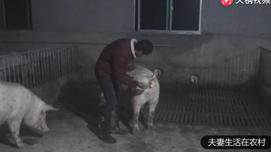 养猪户是如何给子母猪配种的,什么时间配种成功率最高