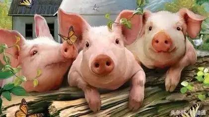 猪场脱霉剂这样选择使用,劣质脱霉剂不脱霉还吸附营养