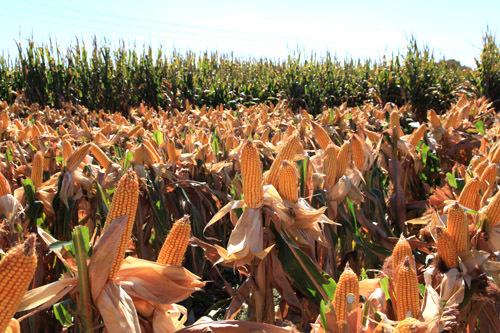 2019年05月01日全国各省玉米价格及行情走势报价表
