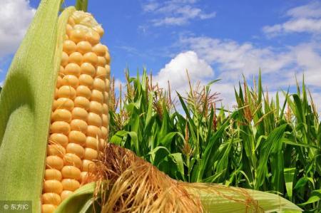 2019年05月03日全国各省玉米价格及行情走势报价表
