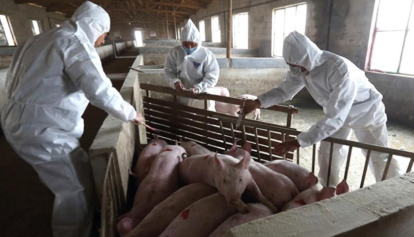 全面落实屠宰环节非洲猪瘟自检和官方兽医派驻制度官方答记者提问