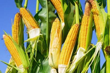 2019年05月04日全国各省玉米价格及行情走势报价表