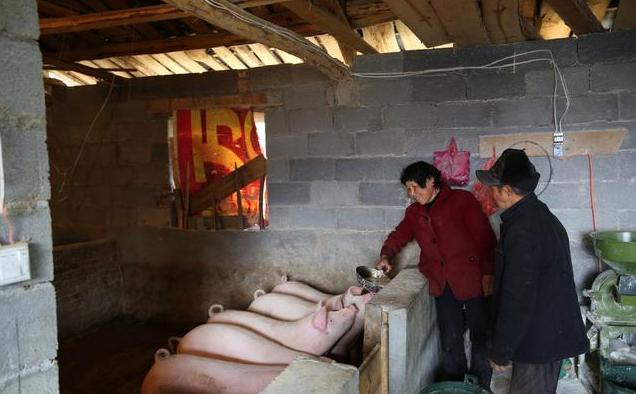 非洲猪瘟持续蔓延 专家:非瘟带来两个新致富机会