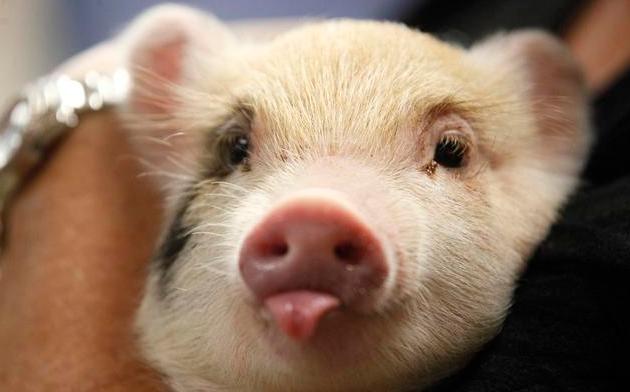 """""""美加丹法台+配套""""六大品系种猪如何选择,各自优势明显!"""