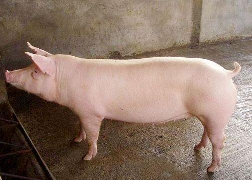 猪农:泱泱养猪大国为何还要进口猪肉?2019预计缺923万吨