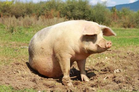 300块一头的淘汰母猪价格让我心情很沉重!