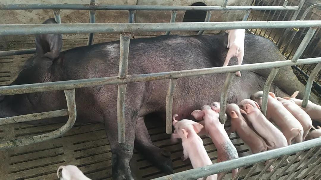 紧急:80%母猪亚健康状态!三个急救办法,处理得当才能管好猪场!