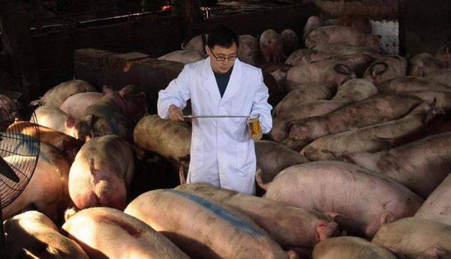 母猪产前食欲不振,养猪户可从四个方面着手