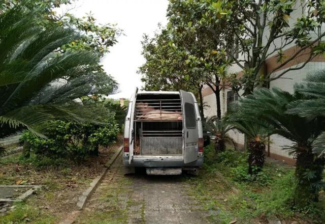 粤北查获一改装面包车偷运生猪北上,32头生猪被无害化处理