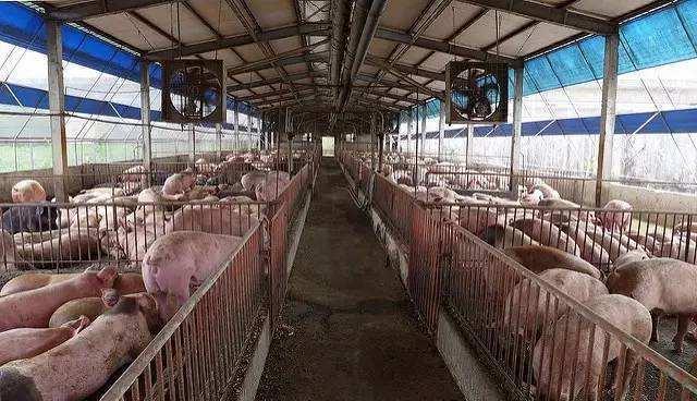 意大利5年内9000家养猪场关闭,平均每天关闭4家