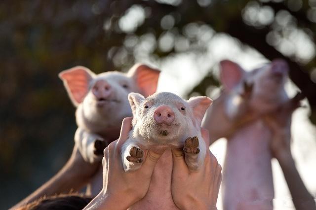"""猪价""""踌躇不前"""",养猪人补栏信心降低!下半年会带来惊喜吗?"""