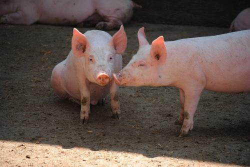 养猪人内心的矛盾:猪价上涨伴随着非瘟疫情,猪到底还能不能养?