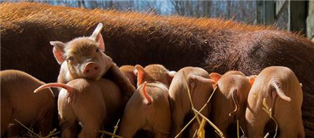"""克隆猪技术""""把根留住"""" 助力本地猪保种繁育"""