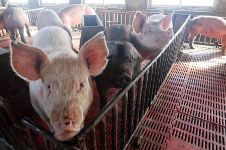 150斤猪发烧,耳朵发紫,常见这两种病,请养殖户注意鉴别!