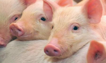2019年5月08日仔猪价格:10公斤仔猪价格行情走势