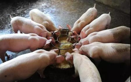 圆形补料盘可使仔猪日采食量提高46%......