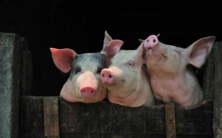 赣州市检察院督促开展生猪屠宰市场整治,捣毁私屠滥宰窝点2个