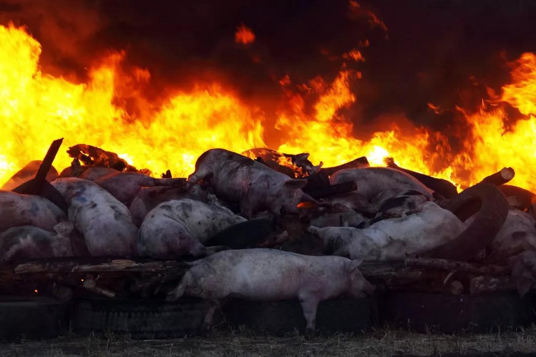 柳州爆发非洲猪瘟?整车活猪被填埋的视频疯传!当心,有人转发被抓了