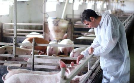 猪呼吸道综合征病一旦闯入猪场,养猪人就会亏本!