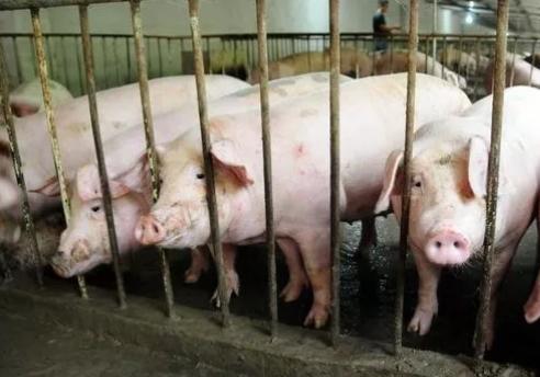 2019年05月09日全国各省生猪价格内三元价格报价表