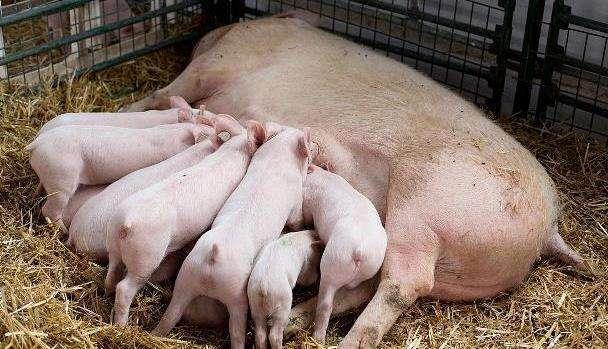 母猪的产后护理99%网友都没听过,大学四大冷门专业99%的人不会报考