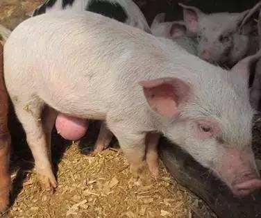 猪脐疝的临床症状诊断及防治,详细手术步骤介绍