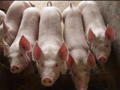 非瘟大环境下,如果你不想离开养猪这个行业......