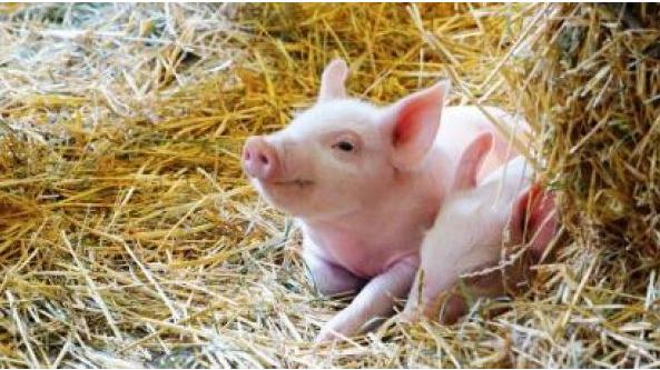一直缺猪但是猪价未见大涨,为啥猪价一直是涨涨停停