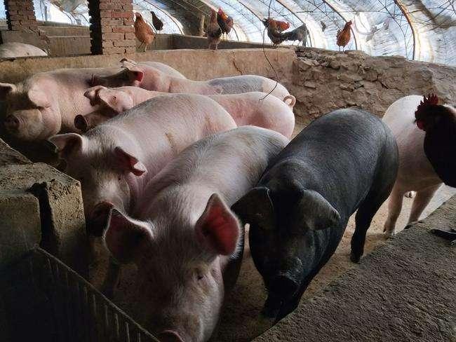 2019年05月11日全国各省生猪价格土杂猪价格报价表