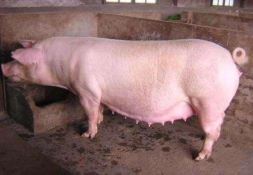 2019年05月11日全国各省生猪价格内三元价格报价表