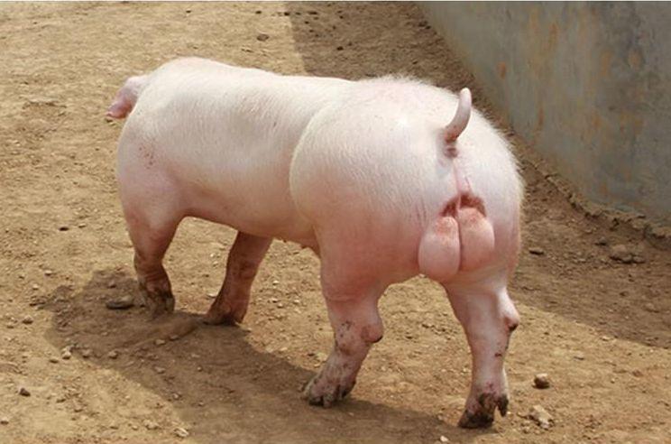 造成公猪精液聚堆各个环节原因分析,提升公猪精液品质先要清楚原理