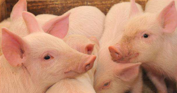 猪业业务人员频繁跳槽背后的心酸!