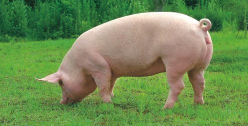 2019年05月12日全国各省生猪价格外三元价格报价表