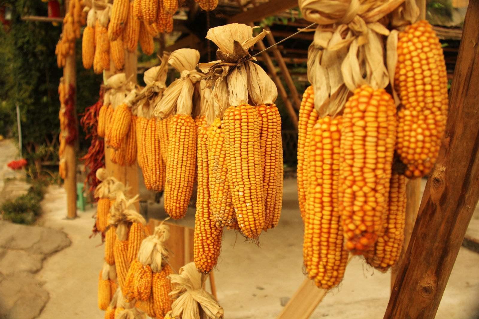 2019年05月12日全国各省玉米价格及行情走势报价表