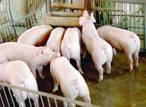 2019年05月13日全国各省生猪价格土杂猪价格报价表