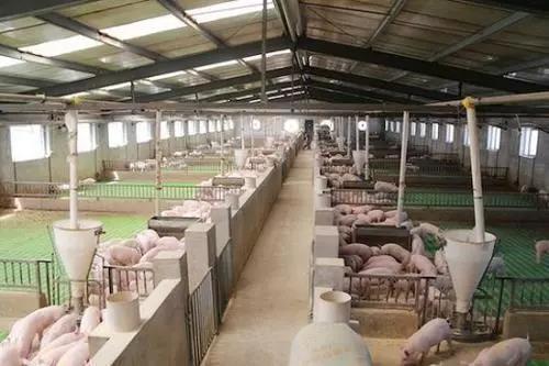大北农计划生猪出栏量增长6倍:2020年600万,2021年1000万头