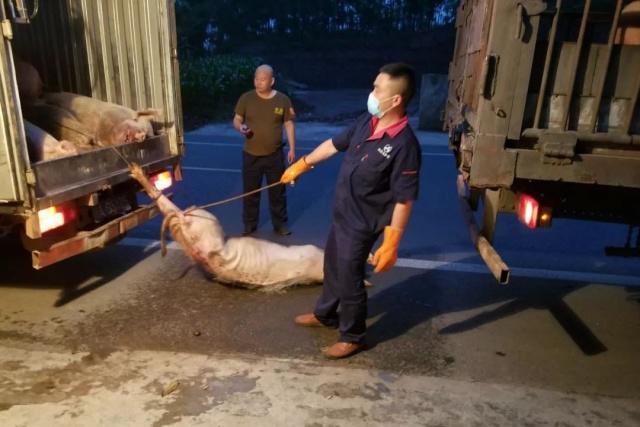 货车侧翻生猪满地跑,场面壮观,交警花两小时疏导处置