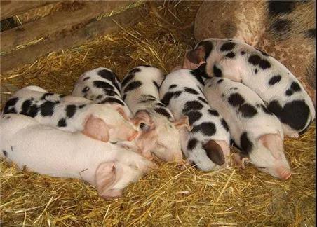 近期猪价行情稳定为主,真的有望提前进入猪周期吗?