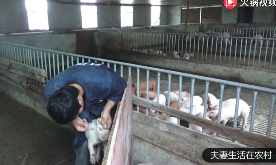 养猪户给小猪做疫苗,半小时打了70头疫苗,你们见过吗?