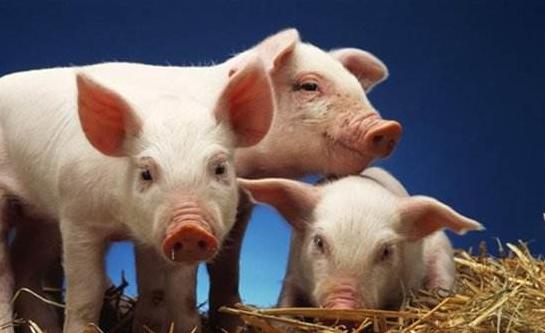 六个方面探讨混合感染、猪瘟和非洲猪瘟的区别