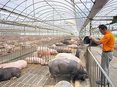 屠企自检整顿意味着啥?专家:300斤的牛猪出栏空间或受限