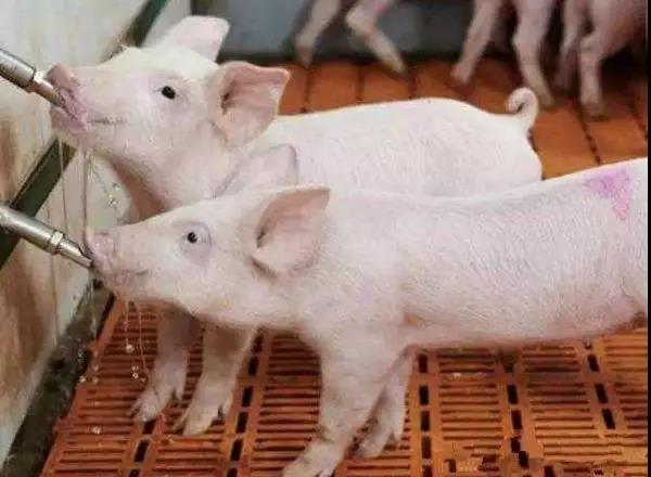 饮水安全,非洲猪瘟防控最有可能被忽略的盲点