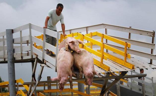 地塞米松在猪病中的作用,但注意用错了会要猪命